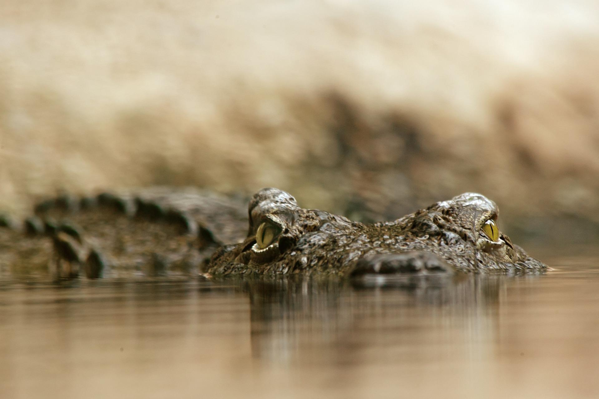 crocodile-448624_1920